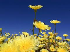 desert-dandelion